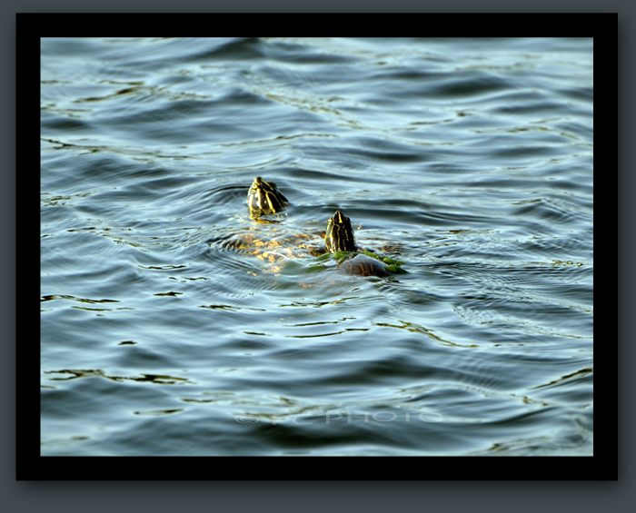 Turtle In The Water : Turtles in the WATER Do You See What I See