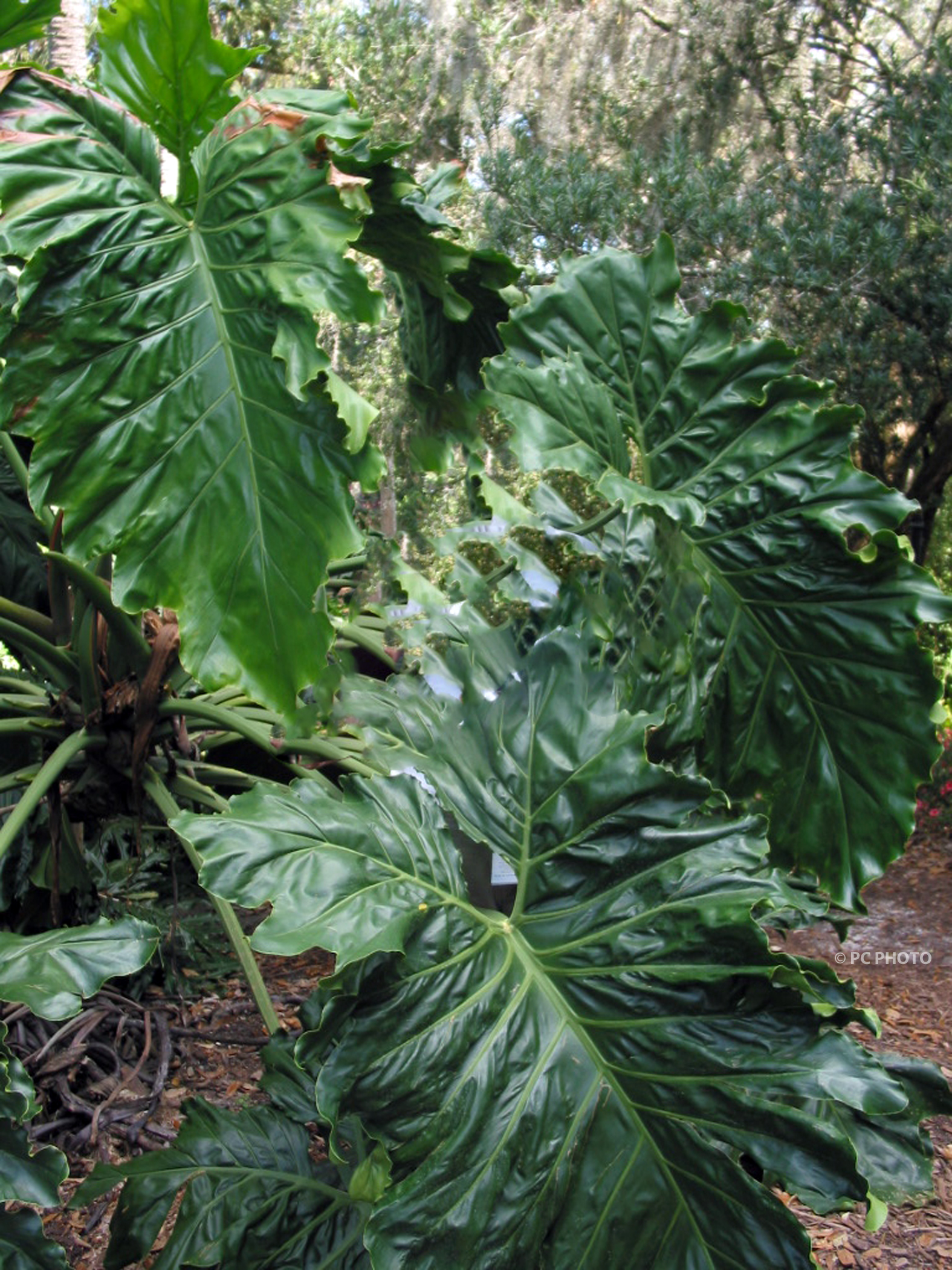 The Philodendron Selloum Spathe is not a flower but it is ...