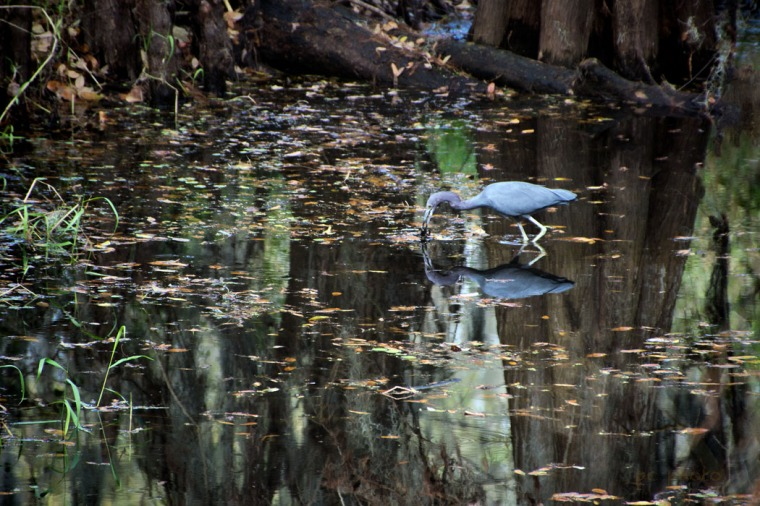 Off Center little blue heron1
