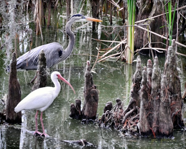 **WHITE IBIS and Great Blue HERON