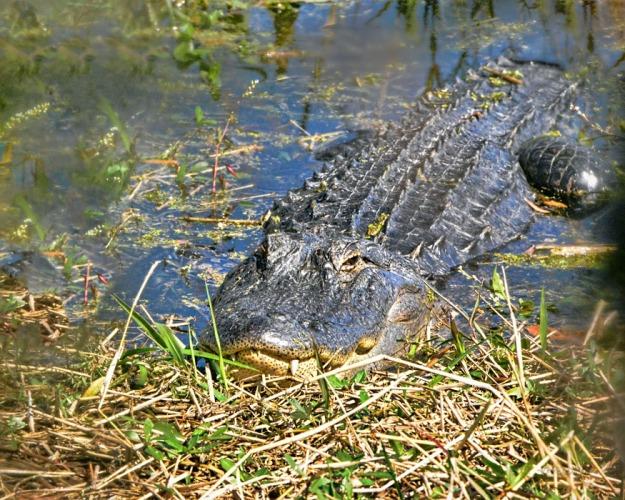 Wildlife gator thru branches1