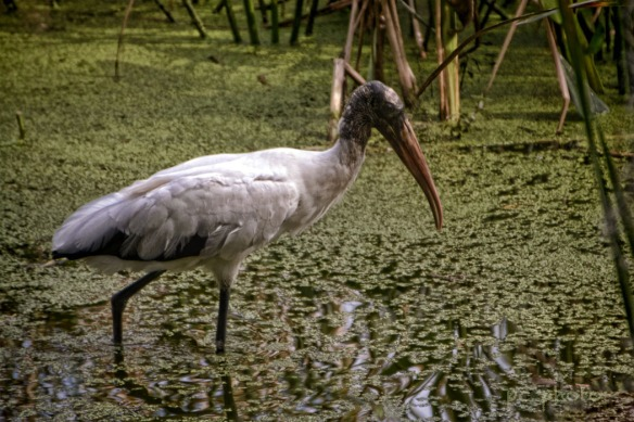 WOODSTORK IN THE WATER
