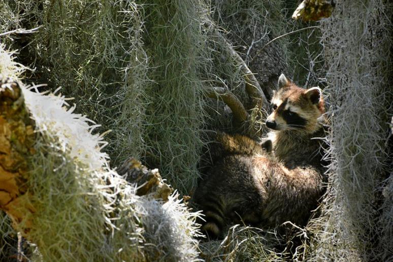 #1 Raccoons #2 friendship:love Raccoons napping1