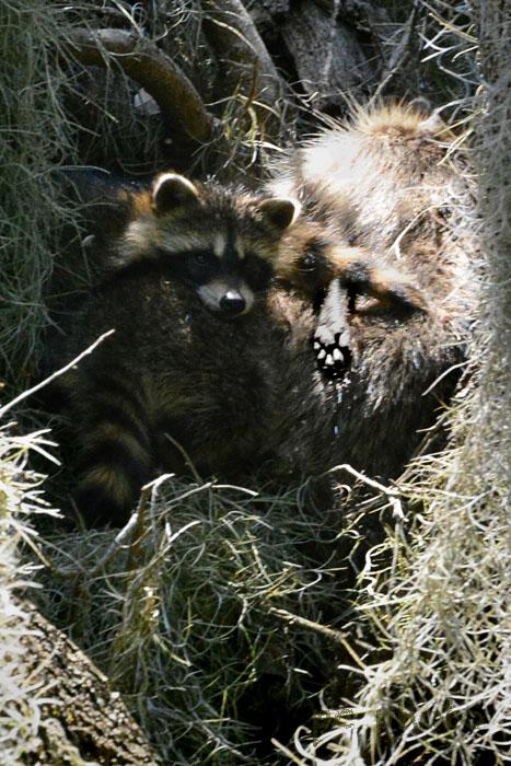 #2 Raccoons**** friendship:love Raccoons napping1
