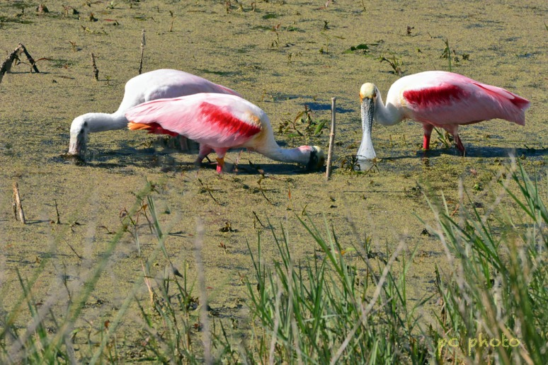 3 spoonbills #3  w: high pass1