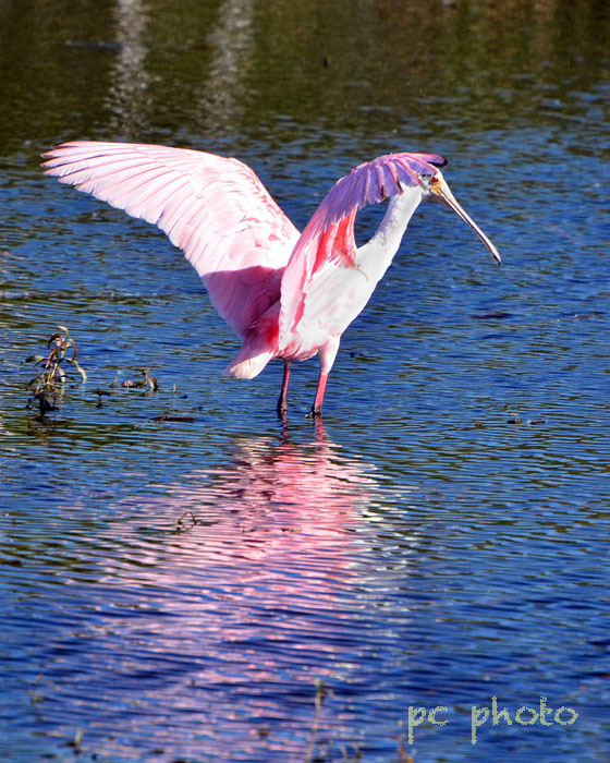spoonbill spread wings  w: high pass1