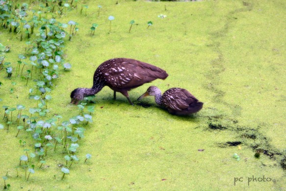 Limpkin/ fine art 4 - 2: 2240 in canal1