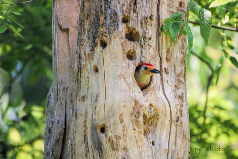 Clarity Red-Bellied Woodpecker
