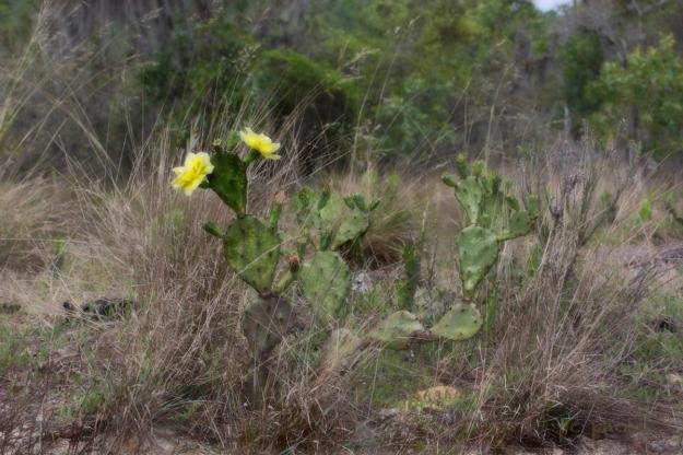 Food : prickly pear cactus1