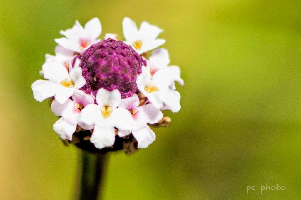 Ordinary - wild flower1