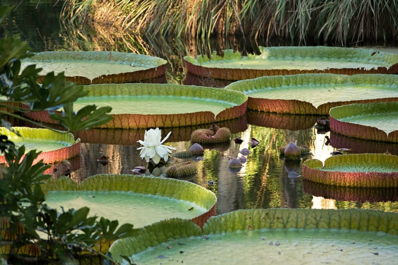 Containers African waterlily 2  1