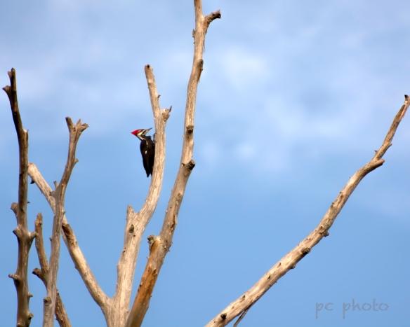 Barren Pileated woodpecker1