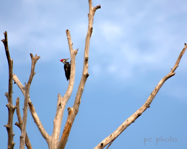 Barren Pileated woodpecker1