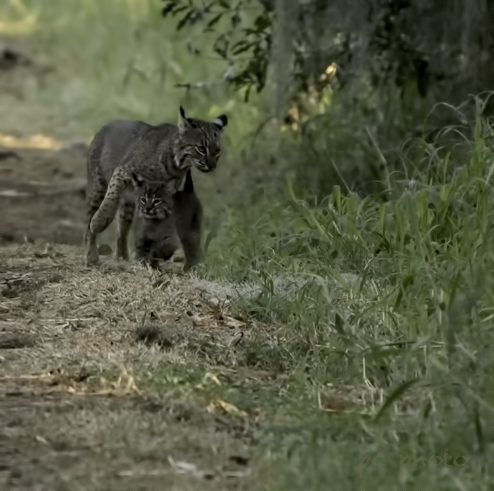Born to be wild Adult Bobcat with Kitten II  1