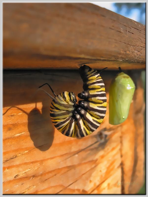 monarch chrysalis  2 border1