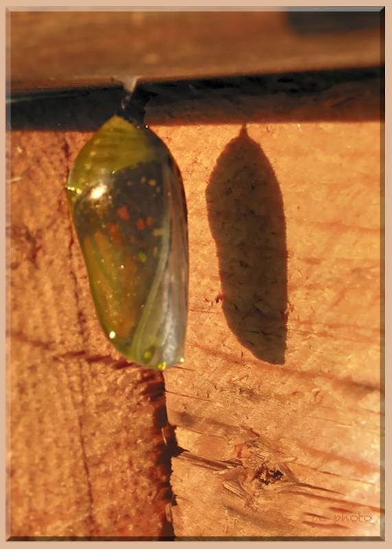 Monarch chrysalis Morph II   1