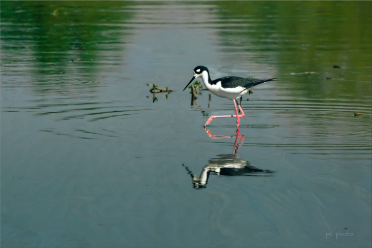Black-Necked Stilt1