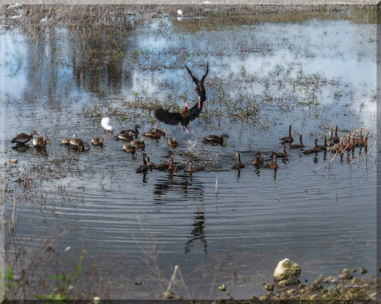 blk bellied whistling duck turf war 2  -268 1