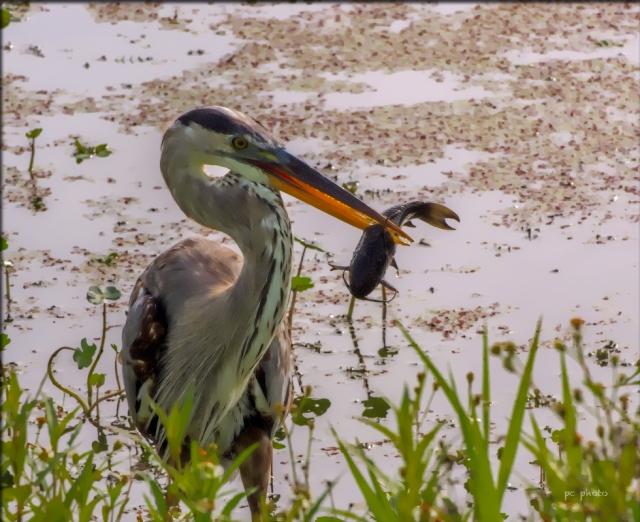 Heron w fish wbw1