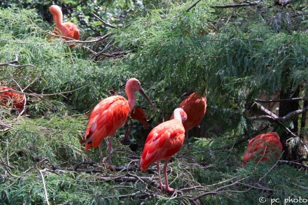 scarlet ibis's san antonio zoo-47