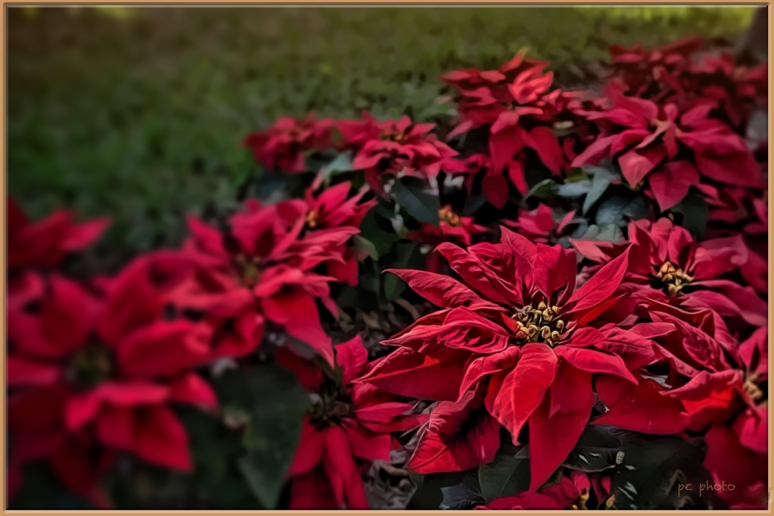 Red Christmas Flower_backyard1