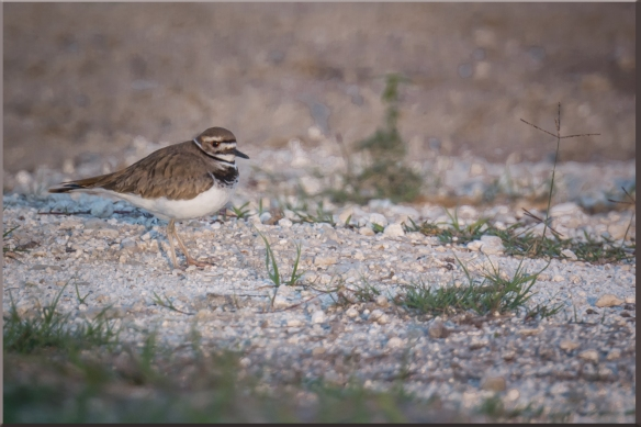 Single Kildeer1
