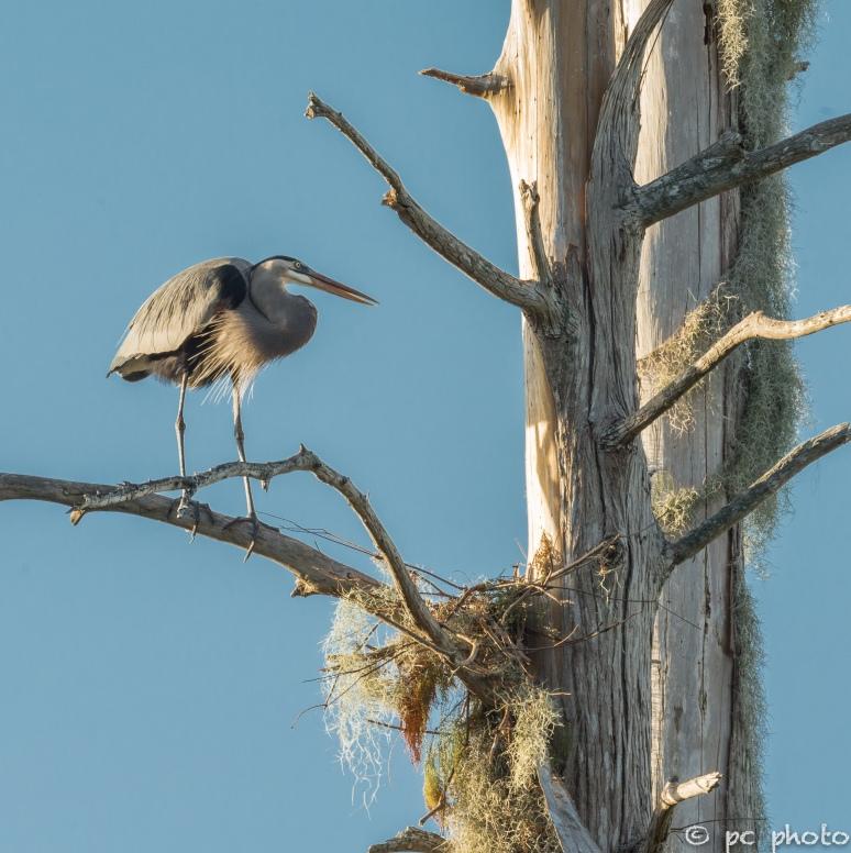 1. Great Blue Heron nest:humble beginning  1-7059