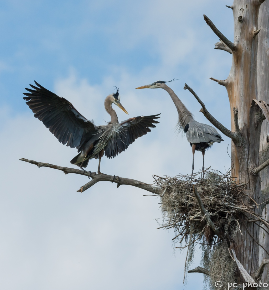 1  Great Blue Herons changing of the guard #1-1471