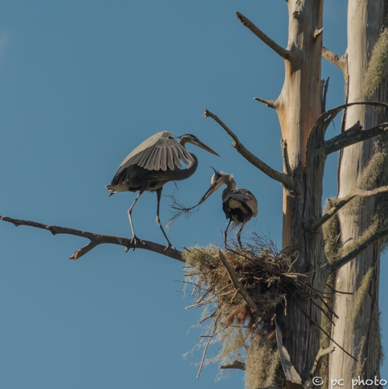 2. Great Blue Heron nest building the hand off----7448