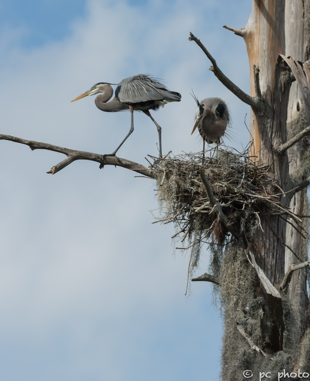 2  Great Blue Herons changing of the guard #2-1475