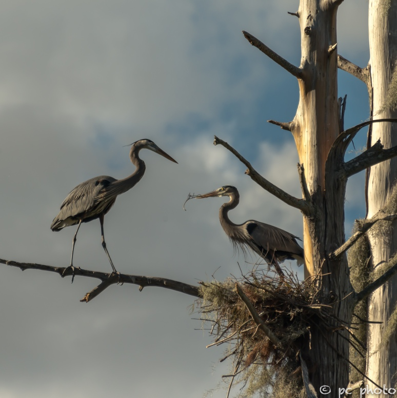 3. Great Blue Heron nest building the hand off  2-7452