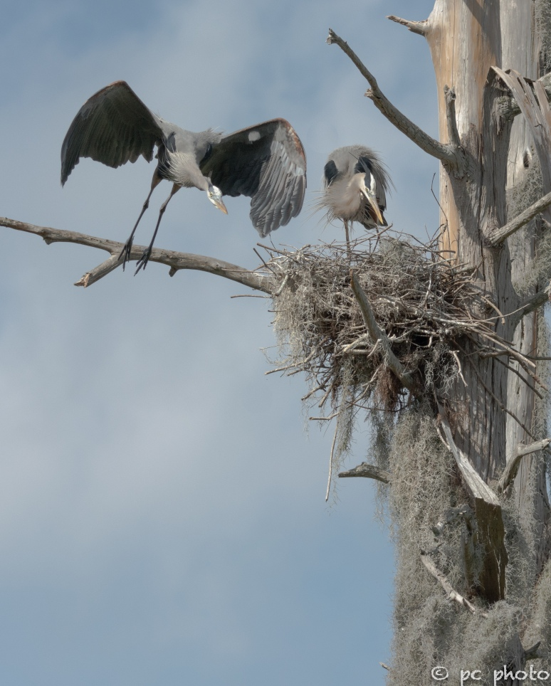 3  Great Blue Herons changing of the guard at the nest #3-1476-2
