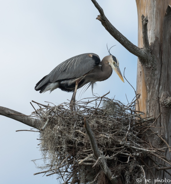 4  Great Blue Heron in nest breeding feathers #4-1528-3