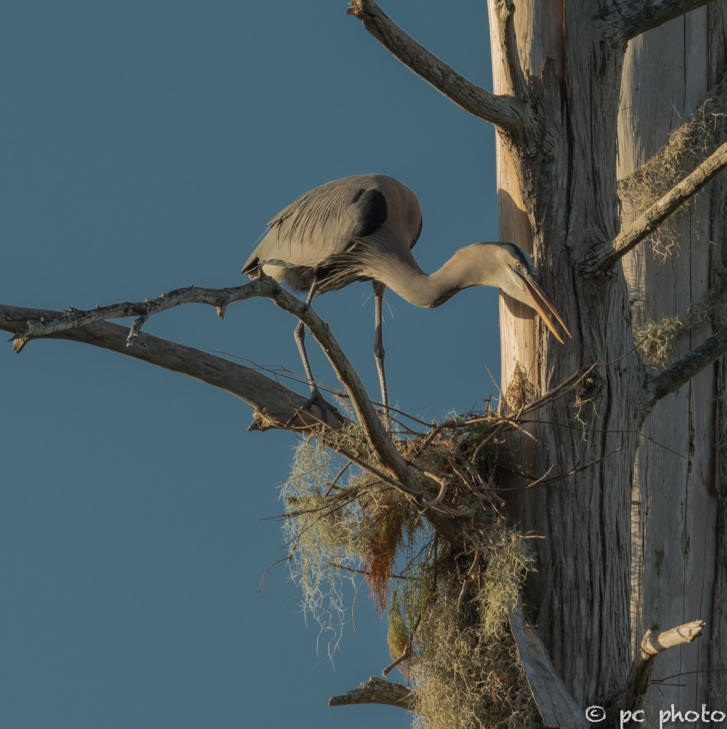4. Great Blue Heron nest building regulating her heat  4  -7071