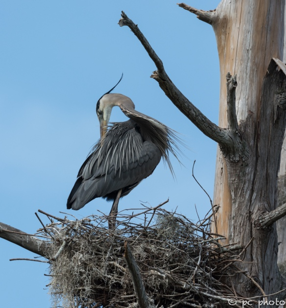5   Great Blue Heron in nest preening breeding feathers #5-1515