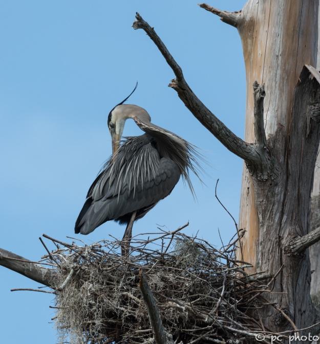 5   Great Blue Heron in nest preening breeding feathers #5-1515