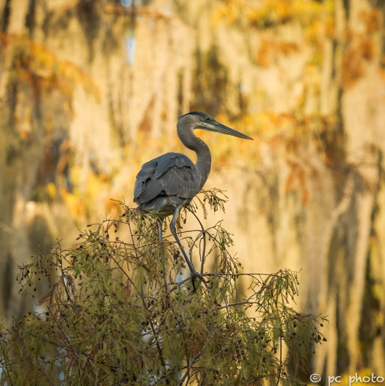 5. Great Blue Heron nest building taking a break  5 -7093