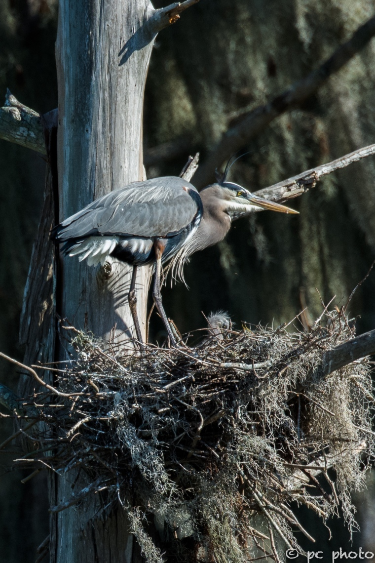 Great Blue Heron 1 chick first look-1749-2
