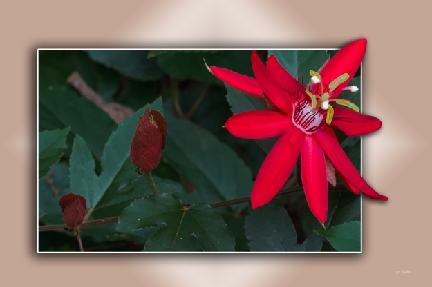 Red Passion Flower1