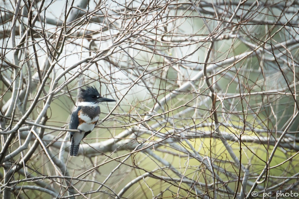 Female-Belted-Kingfisher-1605
