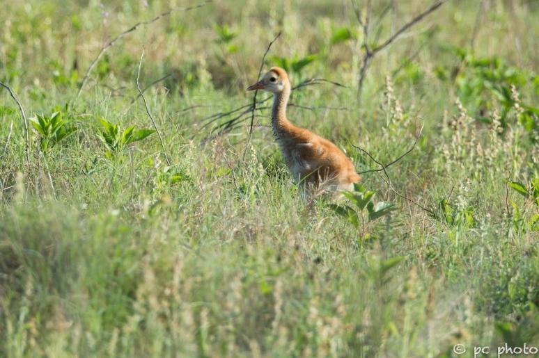 Sandhill-Crane-Colt-wearing-early-morning-dew--3441