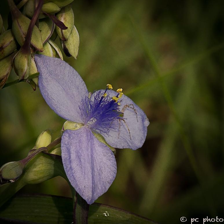 2  spiderwort