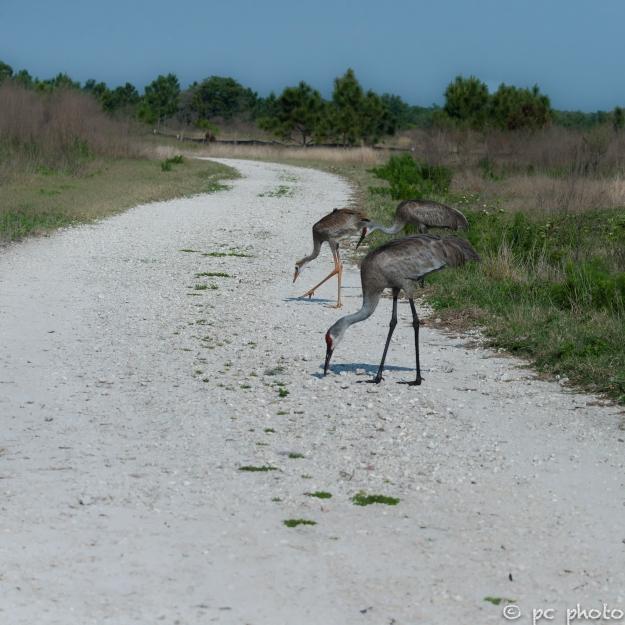 sandhill-crane-family-single-colt---8247