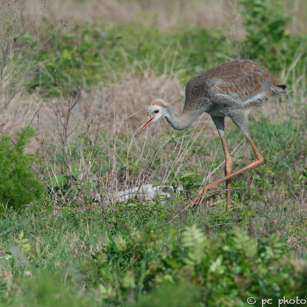 single-sandhill-crane-colt--8244