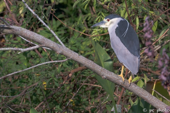 Black-Crown-Night-Heron-0009833