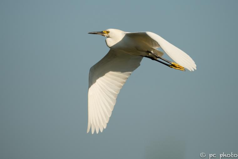 Snowy-Egret-in-flight-sooc-0009816-2