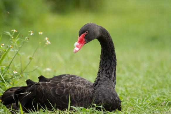 black swan sooc -5454