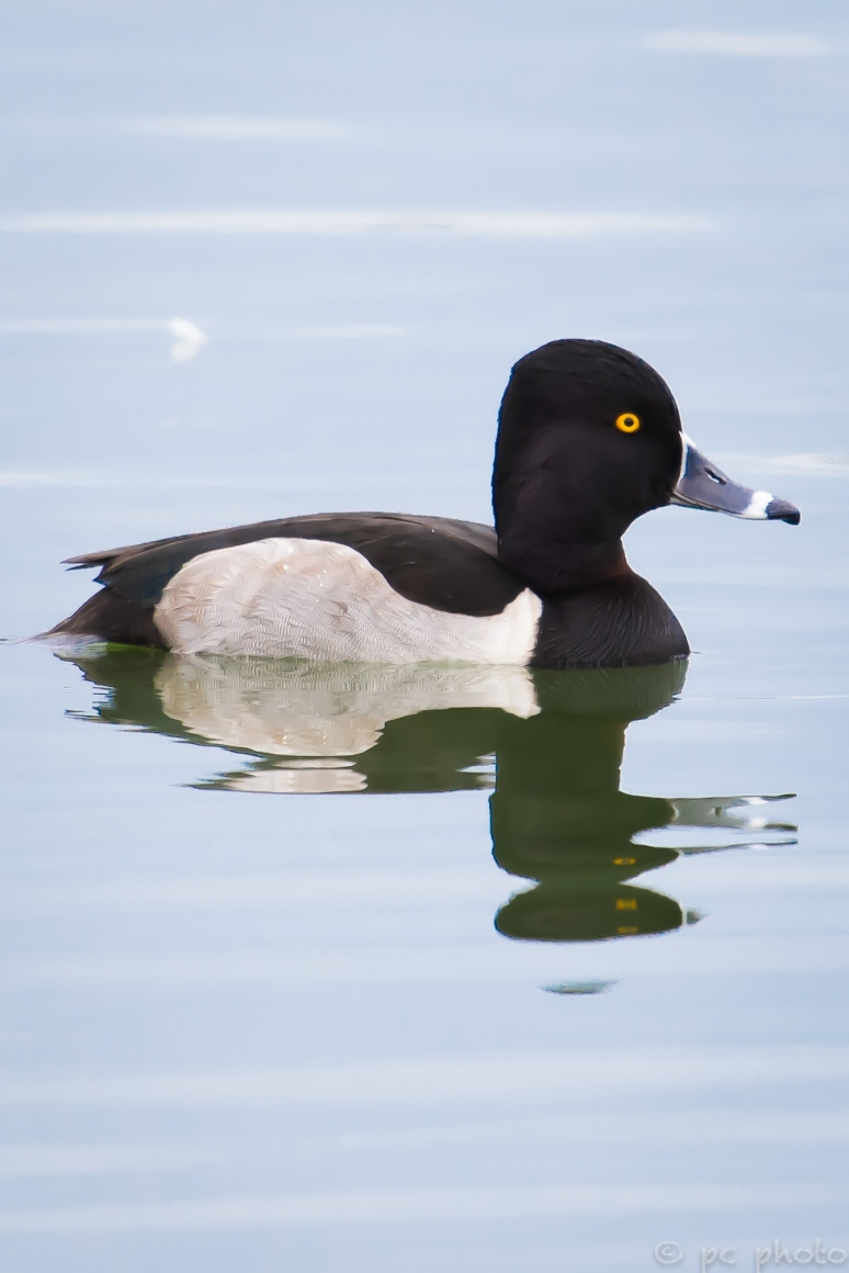 ringed neck duck mirror image-5188