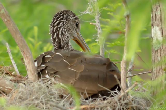 1 - sitting on nest-9309