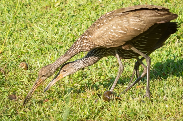 classic limpkin position 6 wks-7510